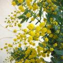 銀葉 ゴールデンミモザ 大型種 開花株花木 庭木の苗/アカシア:ギンヨウアカシア6号ポット