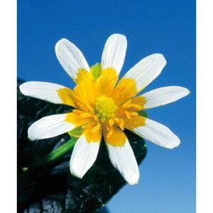 山野草の苗/ヒメリュウキンカ:フライドエッグ2.5号ポット