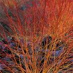 花木 庭木の苗/サンゴミズキ(コルヌスアルバ):ミッドウインターファイヤー6号ポット