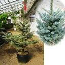 花木 庭木の苗/ピセアプンゲンス:ファットアルバート7号ポット樹高0.3〜0.4m前後
