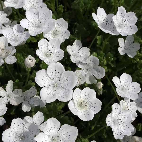 草花の苗/ネモフィラ:スノーストーム3~3.5号ポット4株セット