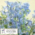 草花の苗/デルフィニウム:アクティア3.5号ポット