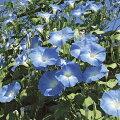 草花の苗/アサガオ(イポメア):西洋朝顔天上の蒼3.5号ポット2株セット