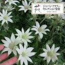 草花の苗/フランネルフラワー:エンジェルスター4号ポット