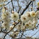 【ハナウメ】花木 庭木の苗/花梅:玉牡丹(たまぼたん)接木1年苗4〜5号ポット