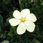 花木 庭木の苗/クチナシ:マルバクチナシ5号ポット