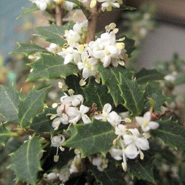 花木 庭木の苗/ヒイラギ:香姫3号ポット[極小葉で香りのよい白花を11月頃に咲かせる柊]