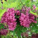 大型 紫紅色の美しい花。シンボルツリーに!花木 庭木の苗/ニセアカシア(ロビニア):カスケー...