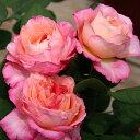 繰り返し咲き 微妙な色合いが美しい四季咲バラバラの苗/ギヨーローズ:マダム・ドゥ・スタール...