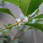 花木 庭木の苗/ギンモクセイ(銀木犀)根巻きまたはポット苗 樹高90cm