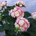 草花の苗/ゼラニウム:キャンディーボールピコティー3号ポット