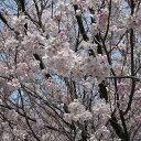 大型 サクラ・エドヒガン系 小型の桜・狭いスペースに!花木 庭木の苗/[春の花木特集]桜:小彼...