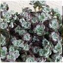 ケープブランコ 銀白色の葉色が美しい山野草の苗/ミセバヤ:白雪ミセバヤ 2.5号ポット