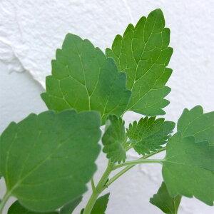 ハーブ苗 猫が好む香りハーブの苗/キャットニップ(ネペタ)3号ポット2株セット