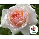 すばらしい香り!アンティークタッチのバラ ADR受賞ハイブリッドティー:マイガーデン大苗