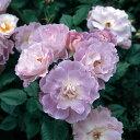 バラの苗/四季咲中輪バラ:ブルー・フォー・ユー大苗6Lポット