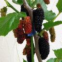 大実桑 加工、生食ともにおいしい巨大果実! 苗木果樹の苗/マルベリー(桑):ポップベリー5号...