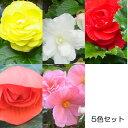 草花の苗/フォーチュンベゴニア: 3.5号ポット5色セット