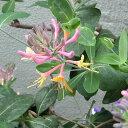 つる性草花の苗/ロニセラ(ハニーサックル):ゴールドフレーム3〜3.5号ポット