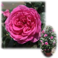 大型 四季咲きつるバラ:パレード8号大型アンドン仕立て