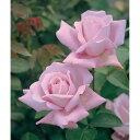 青系大輪バラの人気品種 強健種ハイブリッドティー:ブルームーン新苗5号鉢植え