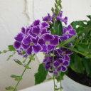 涼しげな紫の夏の花!草花の苗/デュランタ:宝塚(タカラヅカ)3.5号ポット