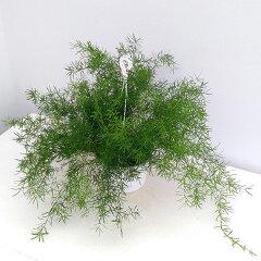 吊り鉢アスパラガス:スプレンゲリー6号鉢