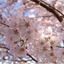 花木 庭木の苗/桜:江戸彼岸(エドヒガン)桜接木苗4~5号ポット[02P11Mar16]