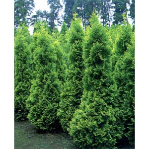 花木 庭木の苗/ニオイヒバ:ヨーロッパゴールド1.5m根巻き