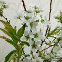花木 庭木の苗/ユキヤナギ(雪柳):斑入ユキヤナギ4.5号ポット