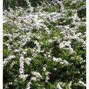 花木 庭木の苗/ユキヤナギ(雪柳)4.5号ポット[02P26Mar16]