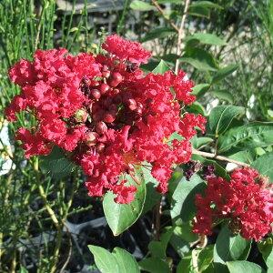 花木庭木の苗/サルスベリ:ペチートレッドインプレッション4号ポット
