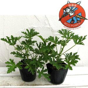 人気の苗ハーブの苗/蚊連草(蚊よけ植物かれんそう)3号ポット2株セット