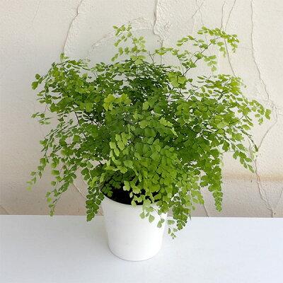 トイレ 観葉植物 おすすめ アジアンタム