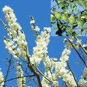 花も実も楽しめる大実早生種 苗木果樹の苗/ウメ(梅):あおじく(青軸)4〜5号ポット