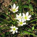玉簾・ゼフィランサスカンジダ ホワイトガーデンに草花の苗/タマスダレ3.5号ポット20株セット
