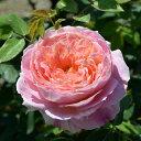 黄・ピンクの絞り 強健な四季咲きバラデルバールローズ:クロード・モネ大苗6号角鉢植え