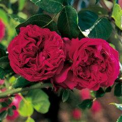 大人気!四季咲き アンティークタッチのバラつるバラ:ルージュ ピエール・ド・ロンサール新苗