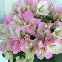 ブーゲンビレア:ブライダルピンク5号鉢植え