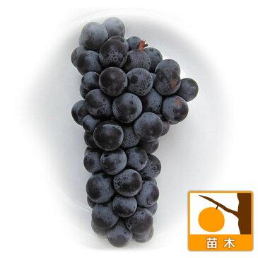 果樹の苗/ブドウ:スチューベン挿木苗4〜5号ポット