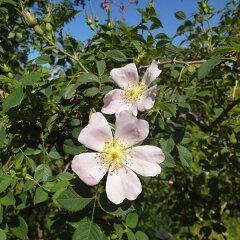 実をローズヒップティーに利用 一季咲き原種:ロサ カニナ(ドッグローズ)大苗