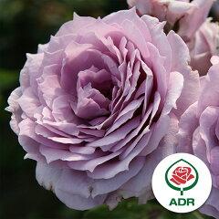 アンティークタッチのバラ・病気に強い最強の青バラ四季咲中輪バラ:ノヴァーリス新苗