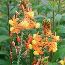 バルビネ・ハナアロエ草花の苗/ブルビネ:オレンジ3.5号ポット