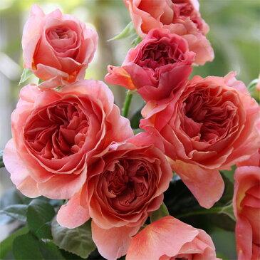 【ラッキーシール対応】バラの苗/F&Gローズ:かおりかざり大苗6号鉢植え