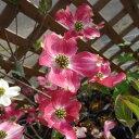 気品のある淡桃ぼかしの花花木 庭木の苗/ハナミズキ:アップルブロッサム6号ポット