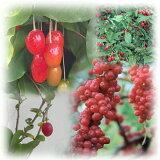 果樹の苗/グミ3品種(ビックリグミ・夏グミ・秋グミ)セット