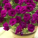 八重咲き小輪多花性草花の苗/ペチュニア:ギュギュ ダブルパープル3〜3.5号ポット
