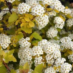 黄金葉の小手毬花木 庭木の苗/コデマリ:ゴールドファウンテン5号ポット
