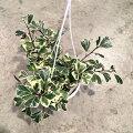 観葉植物/フィカス:トライアンギュラリススイートハート(斑入り)5号吊り鉢