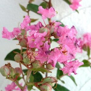 花木庭木の苗/サルスベリ:ペチートピンキー(ピンク)4号ポット